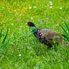CAPTION: Adult Male Ring-necked Pheasant LOCATION: Prescott, Arizona DATE: 8-30-12 NOTES: HEADING: