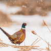 APH-13-89: Ring-necked Pheasant in falling snow