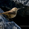 Adult Rock Wren with normal bill, Sacramento Co, CA, 6-18-13. Cropped image.