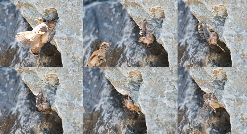 This sequence collage shows one of the 5 chicks being shoved out of the nest hole by the rush forward made by its siblings! The bird fell to the sidewalk below and although it didn't make it back into the hole, it did find a nice ledge just below it to be tended to by the adults.