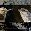 Adult Rock Wren nesting pair, left bird has a normal bill, the right has an abnormal bill. Sacramento Co, CA, 6-17&18-13. Cropped and produced in PS, CS5.