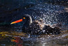 Black Oystercatcher (Haematopus bachmani) splashing at Oregon Coast Aquarium, Newport, Oregon.  Чёрный кулик-сорока