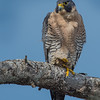 Peregrine Falcon Male