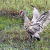 Sandhill crane at Deltona FL retention pond