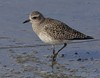Black-bellied Plover: Salton Sea NWR (12-27-14)