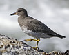 Surfbird: Near Lincoln City, OR (October, 2012)
