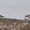 Ruddy Turnstone, Red Knot and Semipalmated - Presqu'ile Park