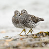 SURFBIRDS, breeding plumage