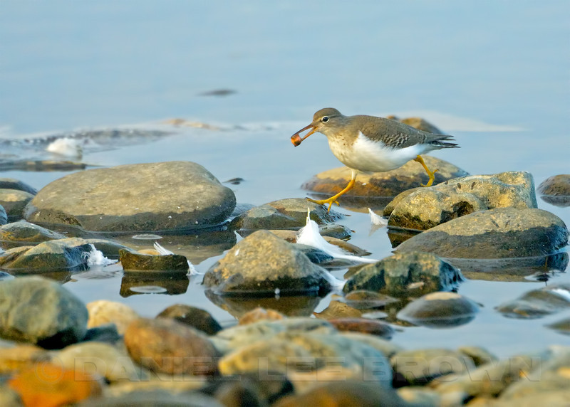Spotted Sandpiper with Salmon egg, American River Parkway, Sailor Bar, Sacramento, Co, CA, 12-11-13. Cropped image.