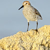 Western Sandpiper in breeding plumage, Riverside County, CA, 4-22-14. Cropped image