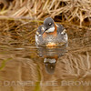 RED-NECKED PHALAROPE, female