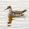 RED-NECKED PHALAROPE, male
