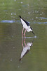 Black-necked Stilt IMG_0868
