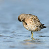 Short-billed Dowitcher, Bodega Bay, Sonoma Co, CA, 4-12-13. Cropped image.