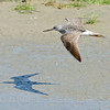 Greater Yellowlegs, Solano County, CA, 4-10-14. Cropped image.