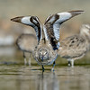 Willet doing a wing stretch, Bodega Bay, Sonoma Co, CA, 4-12-13. Cropped image.