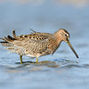 Short-billed Dowitcher, Bodega Bay, Sonoma Co, CA, Cropped image.