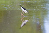 Black-necked Stilt IMG_0869