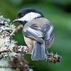 Black-capped Chickadee - near Olympia, Wa