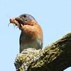 Eastern Bluebird With Prey (Sialia sialis)
