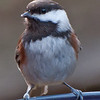 Chestnut-backed Chickadee - near Olympia, Wa