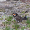 Sooty Grouse (Dendrapagus fuliginosus) in display.  Mt. Rainier, June 21, 2012