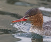 Merganser_Red-breasted TAB12MK4-39297