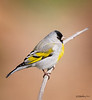 Lawrence's Goldfinch Spinus lawrencei