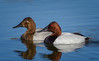Canvasback Aythya valisineria