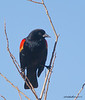 Red-winged Blackbird Agelaius phoeniceus