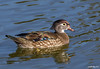 Wood Duck Aix sponsa
