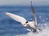 Royal Tern Thalasseus maximus