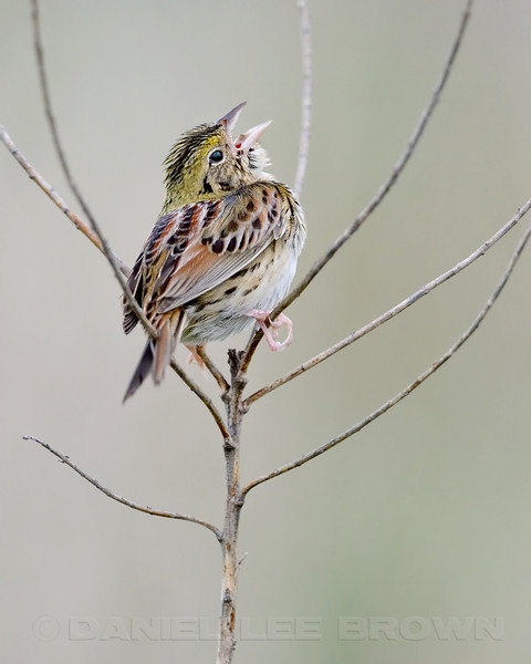 Henslow's Sparrow, Matthiesson SP, La Salle Co, IL, 5-5-13. Cropped image.