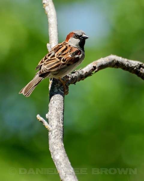 Male House Sparrow, Sacramento County, CA, 4-14-14. Cropped image.