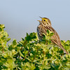 Savannah Sparrow, Bodega Bay, Sonoma Co, CA. Cropped image.