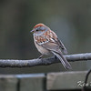 chipping sparrow: Spizella passerina, yard
