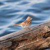 Beacon Hill, song sparrow: Melospiza melodia