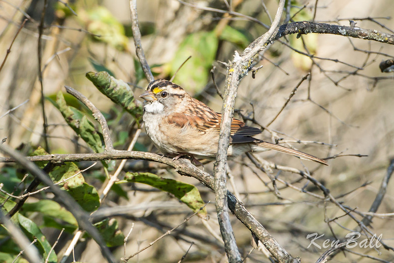 Mud Lake, white-throated sparrow: Zonotrichia albicollis