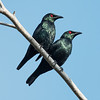 Asian Glossy Starling (Male)