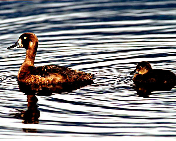 Surf Scoter and Chick