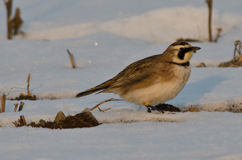 Horned Lark (Female) - Wellington