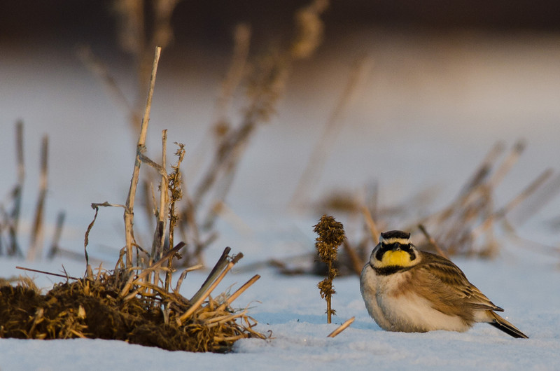 Horned Lark (Male) - Wellington