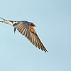 Welcome Swallow (Hirundo neoxena)