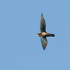 White-throated Needletail (Hirundapus caudacutus)