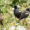 TRICOLORED BLACKBIRD, males and female