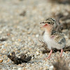Little Tern (Baby)