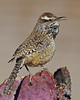 Cactus Wren: Green Valley, AZ (MArch, 2013)