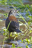 Rusty Blackbird: A rare bird found at the Sonoita Creek Preserve in Patagonia, AZ (February, 2013)