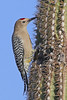 Gila Woodpecker:Green Valley, AZ (1-17-14)