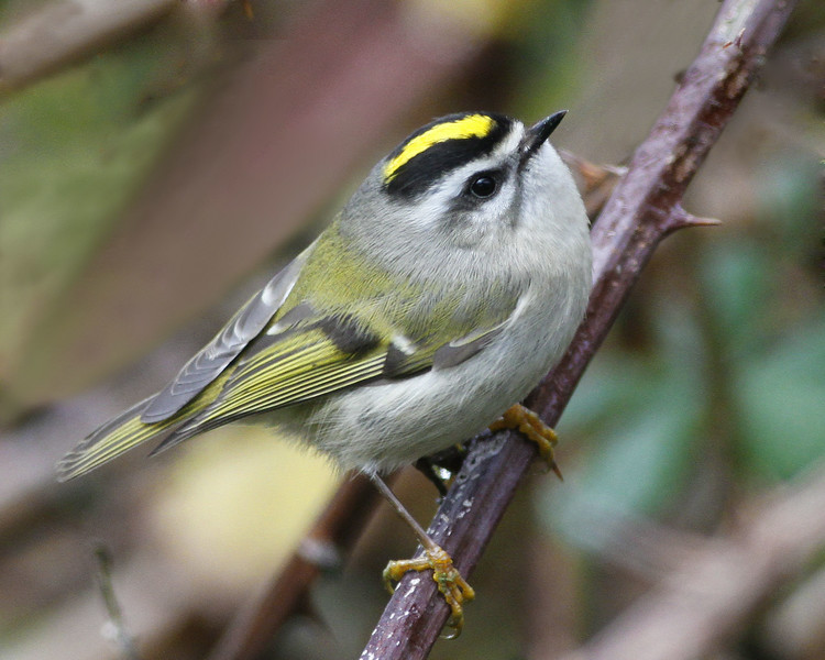 Golden-crowned Kinglet: Ridgefield NWR, WA (November, 2012)